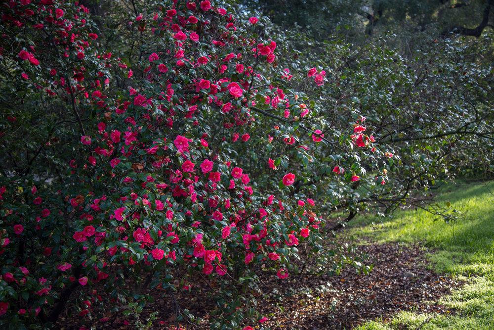 Colorful camellia.