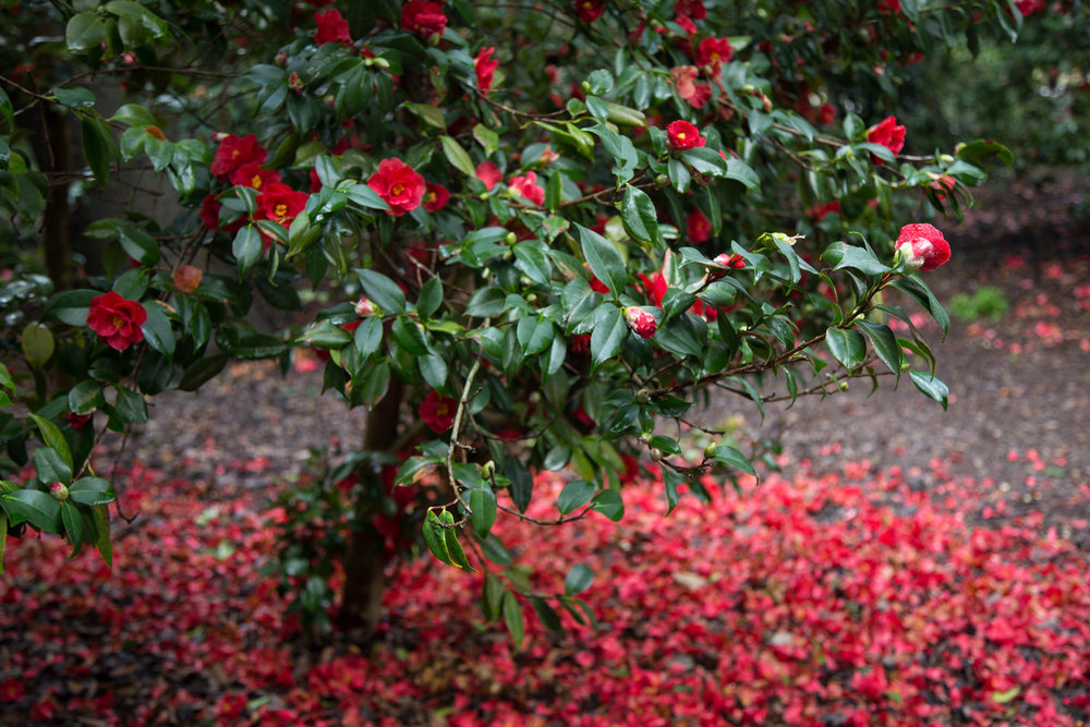 The camellia forest looks lovely when the petals fall.