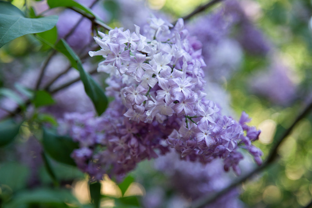 The lilac grove is now in full bloom.  The aroma is incredible.