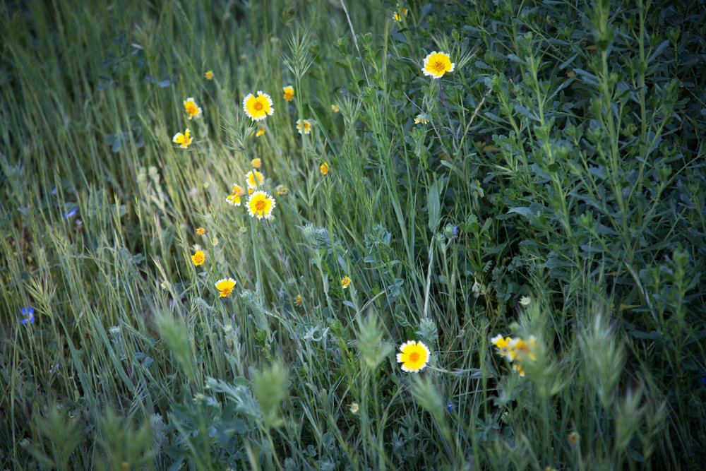 Wildflowers in the California Natives section are starting to show.