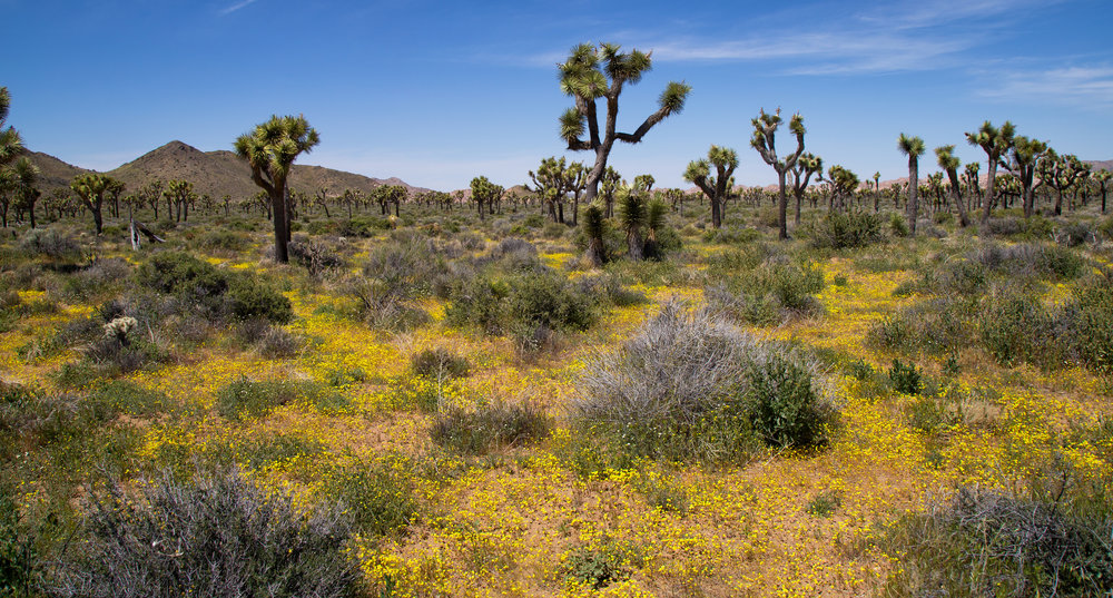 The hiking trail off Keys View Road near Juniper Flats was a golden blanket of Wallace Woolly Daisy and Desert Dandelion