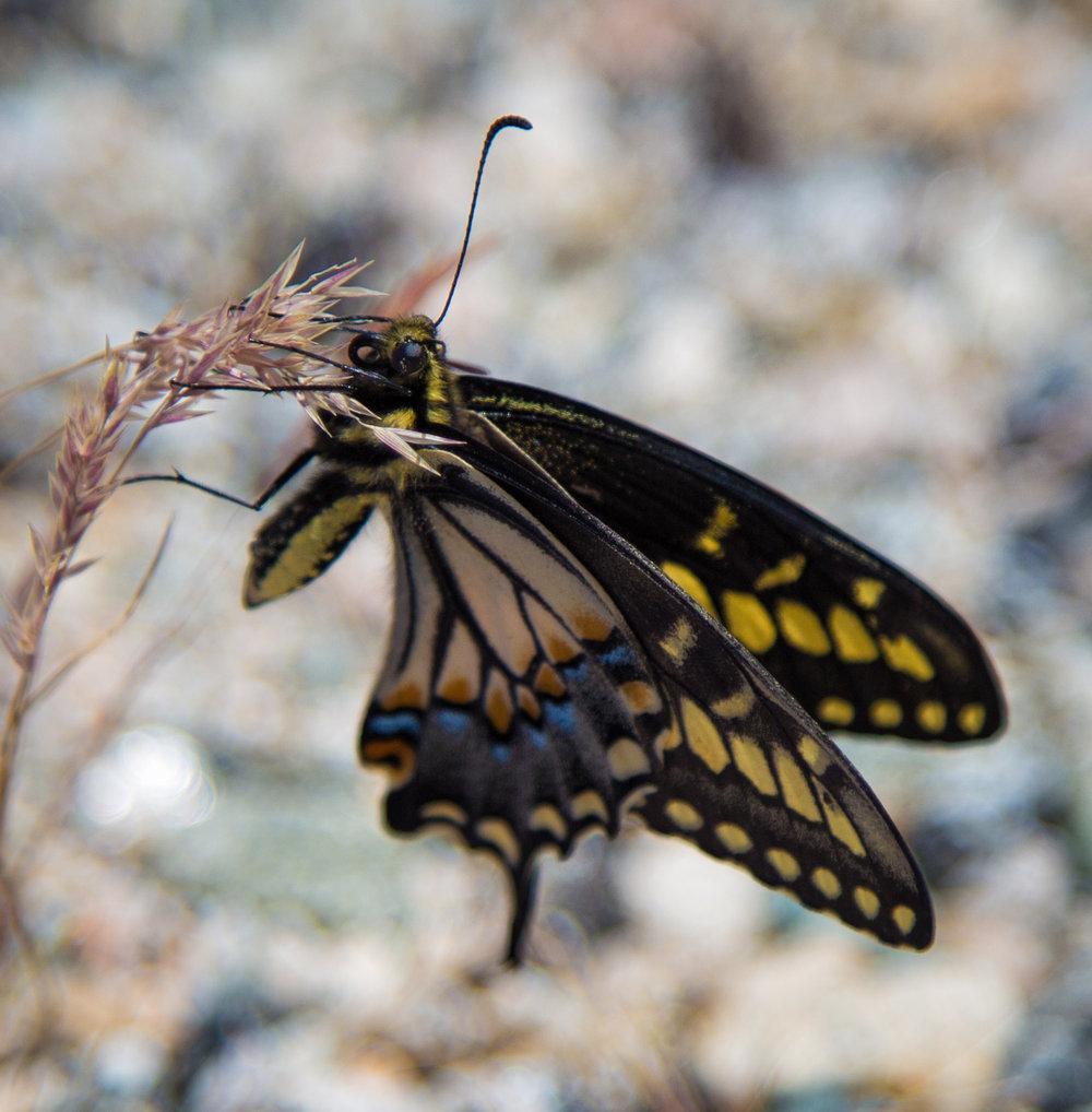 Swallowtail butterflies were everywhere.