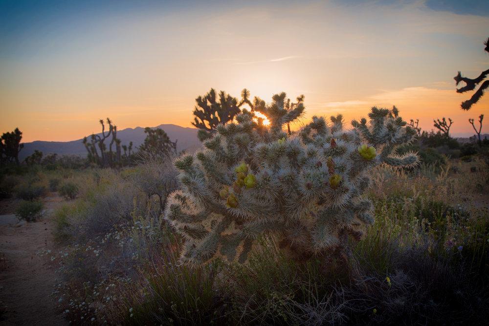 Colla cactus at Ryan Mountain at sunset