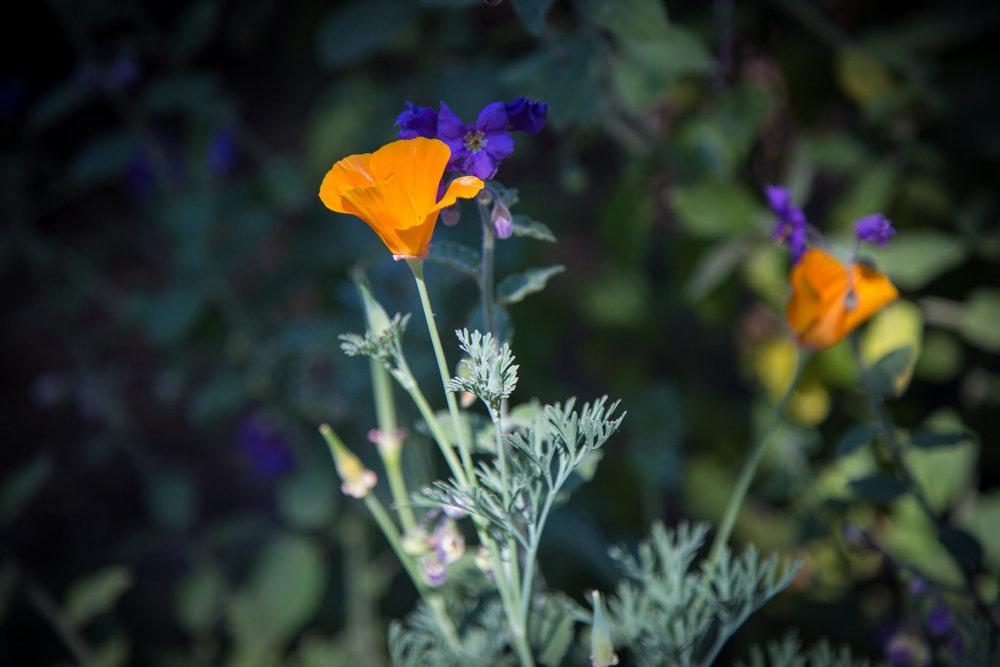 California Poppy and Purple Nightshade