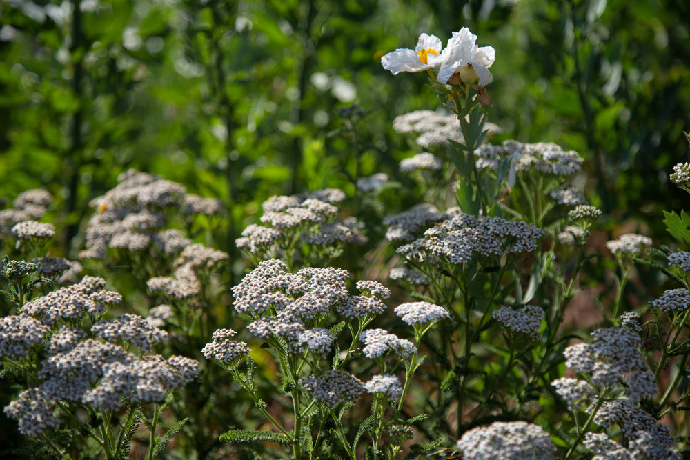 Yarrow and Matilija Poppy