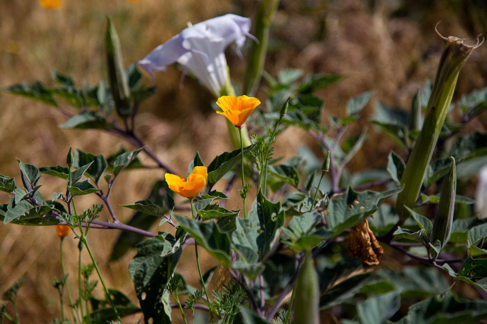 California Poppy and Sacred Datura