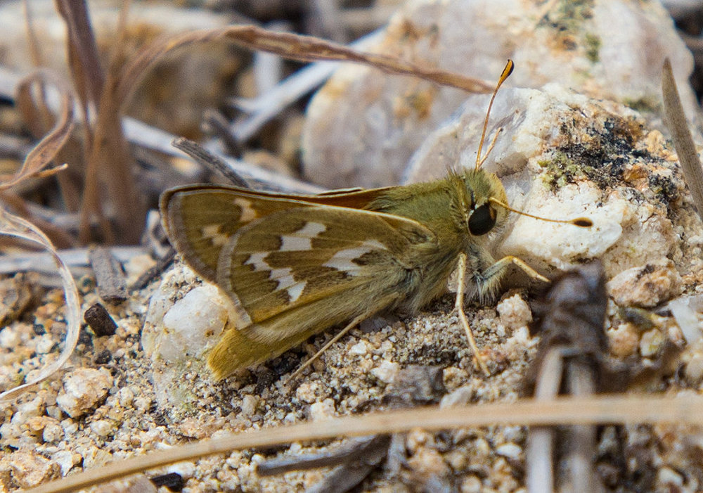 Common branded skipper seen at Charlton Flats