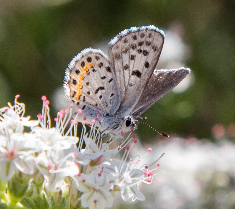 Bernardino Blue on California Buckwhea
