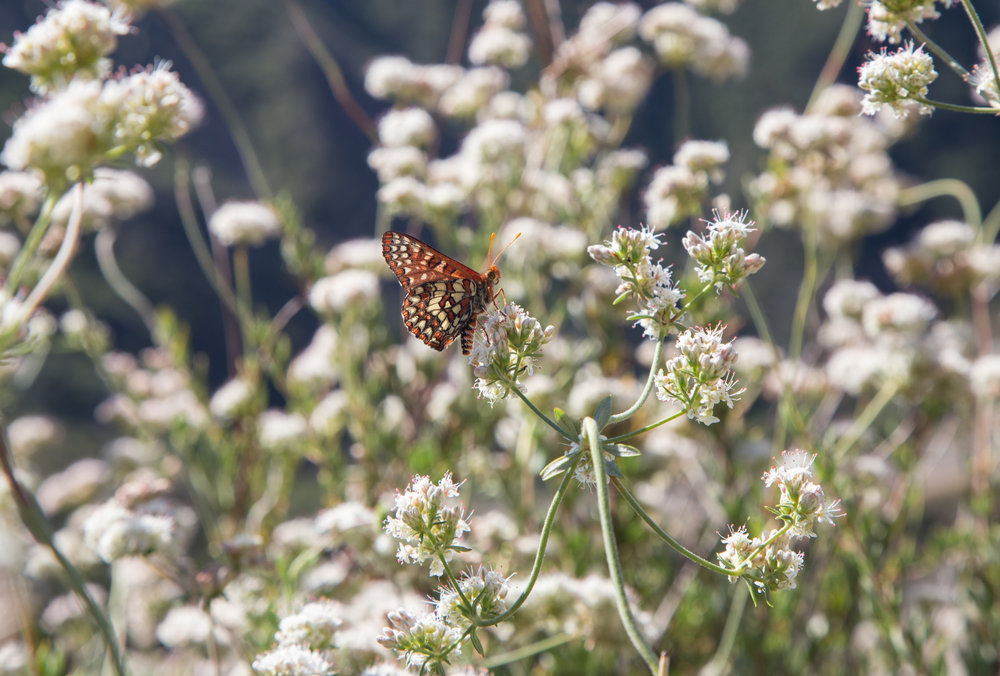 Chalcedon Checkerspot on California Buckwheat
