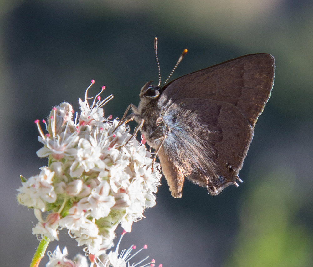 Hairstreak on California Buckwheat