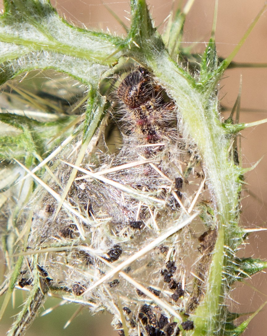 Painted Lady Caterpillar on thistle