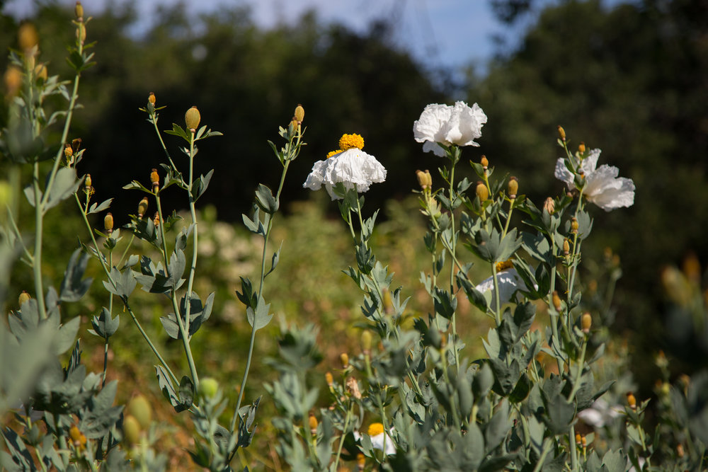 Matilija poppies still in bloom