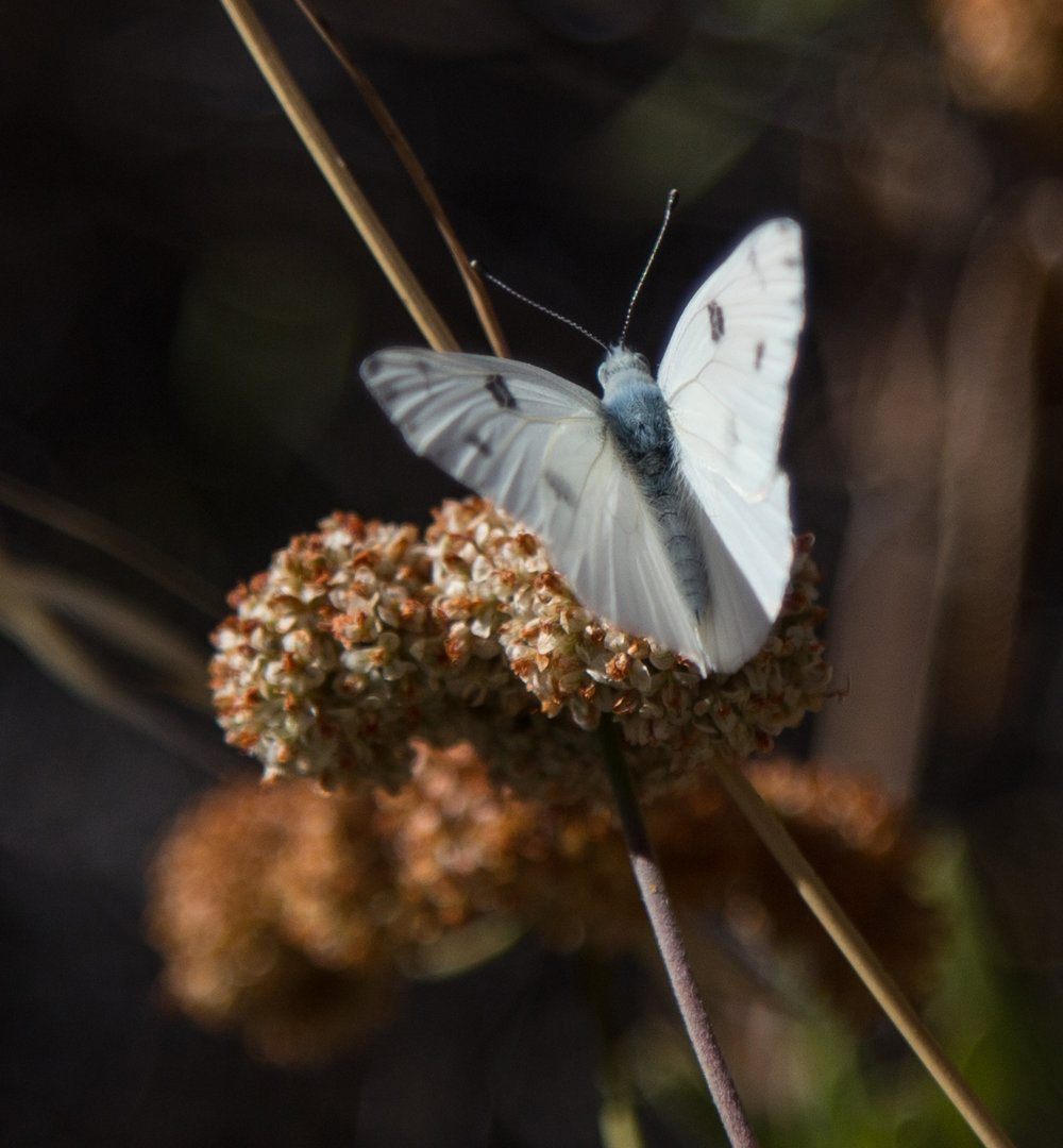 Checkered White, Pontia protodice, Male