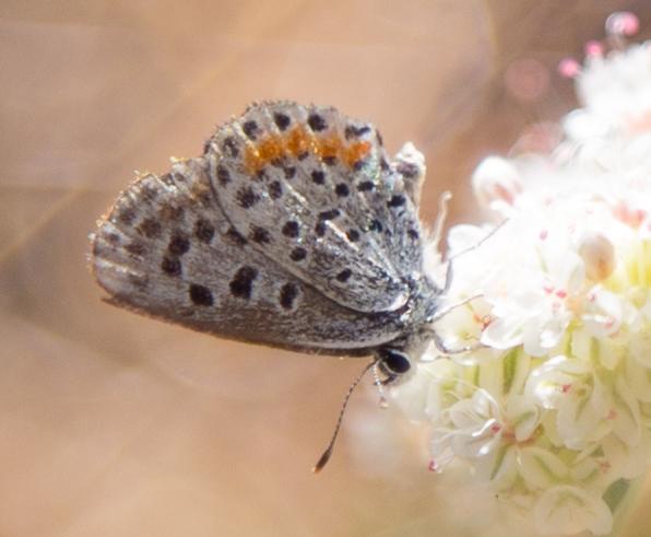 Bernardino Blue, Euphilotes bernardino