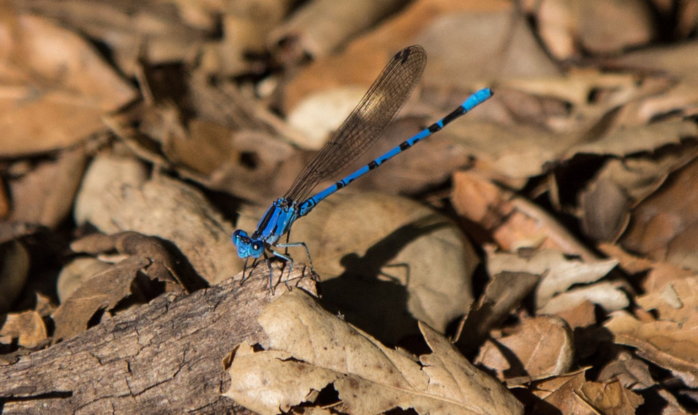 Vivid Dancer Damselfly