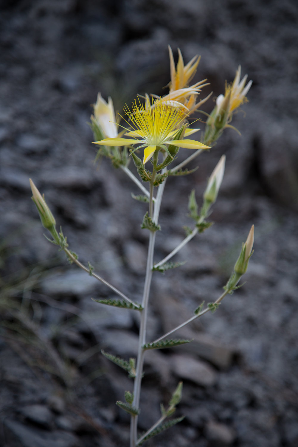 Giant Blazing Star, Mentzelia laevicaulis, growing on the rocks.