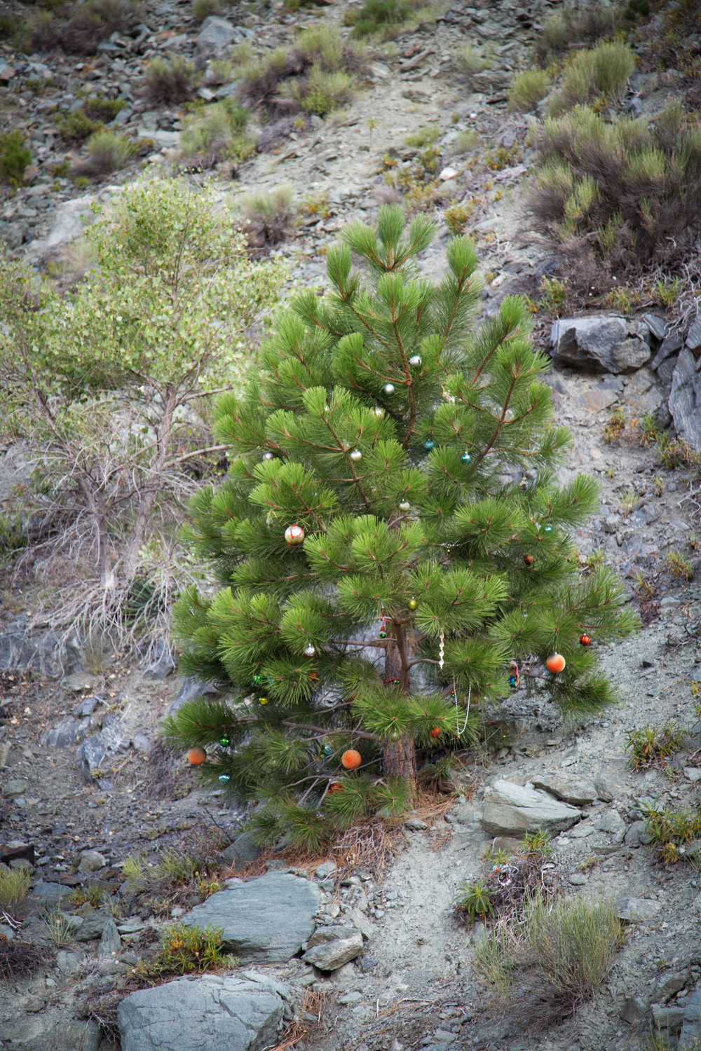 Someone had decorated this pine with Christmas ornaments.  Merry Christmas!