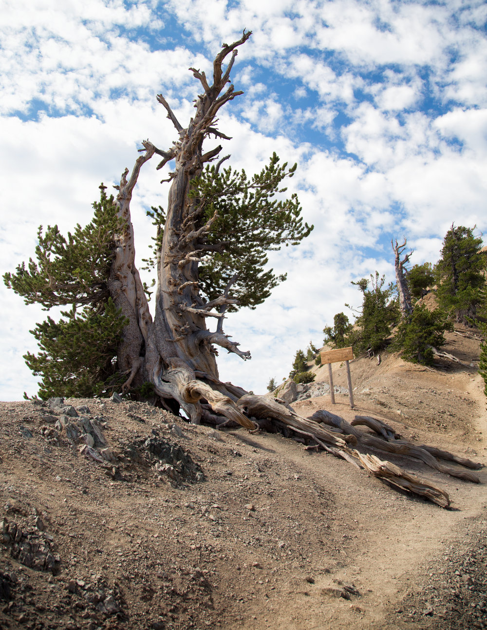 "On the ridge you'll come upon the magnificent Wally Waldron tree.  It is one of the oldest living limber pines estimated at over 1,500 years old.  It is named after Boy Scout leader, Michael ""Wally"" Waldron."