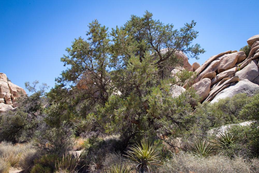Pinyon Pine at Hidden Valley