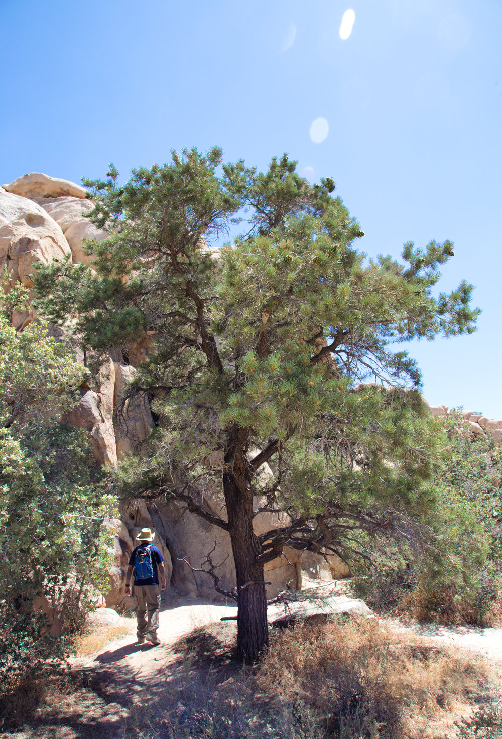 My husband walking under a Pinyon Pine.