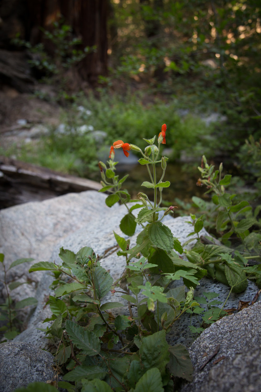 Scarlet Monkeyflower at the creek bed crossing.
