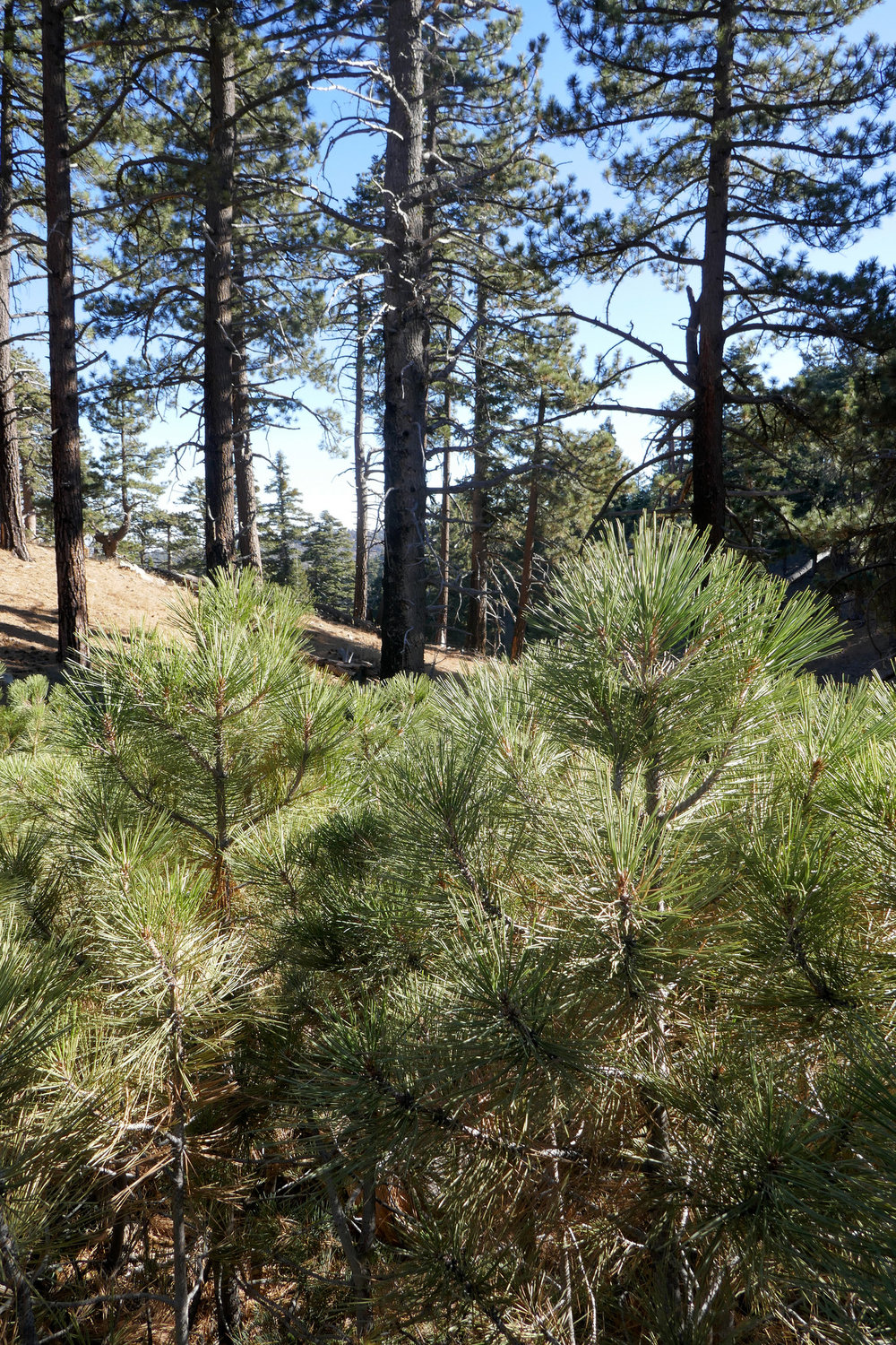 Pine grove near the Grassy Hollow visitor center.