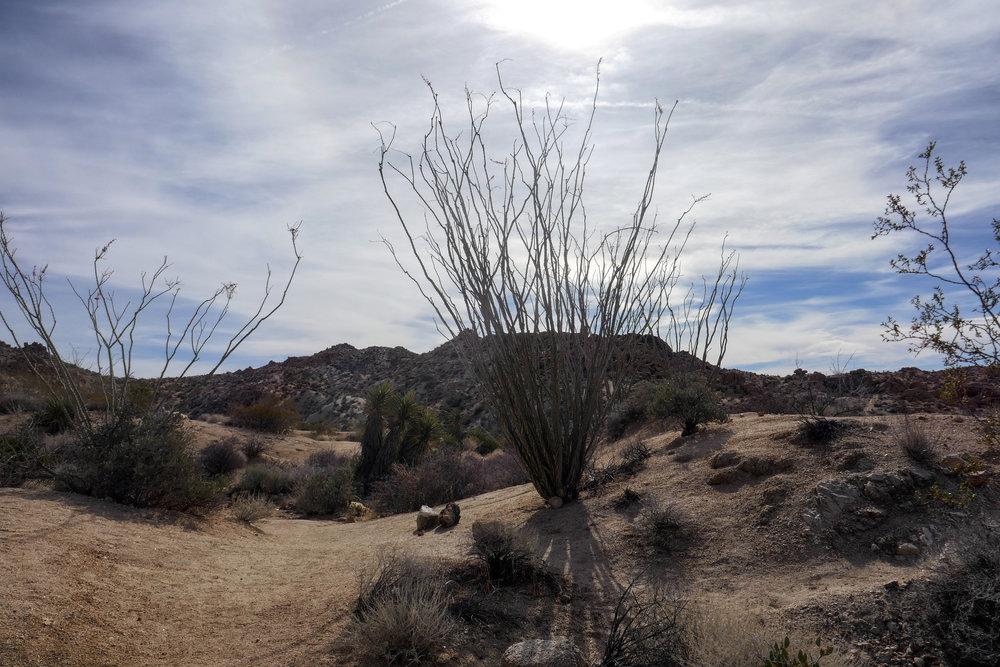 Ocotillo in the Colorado Desert.