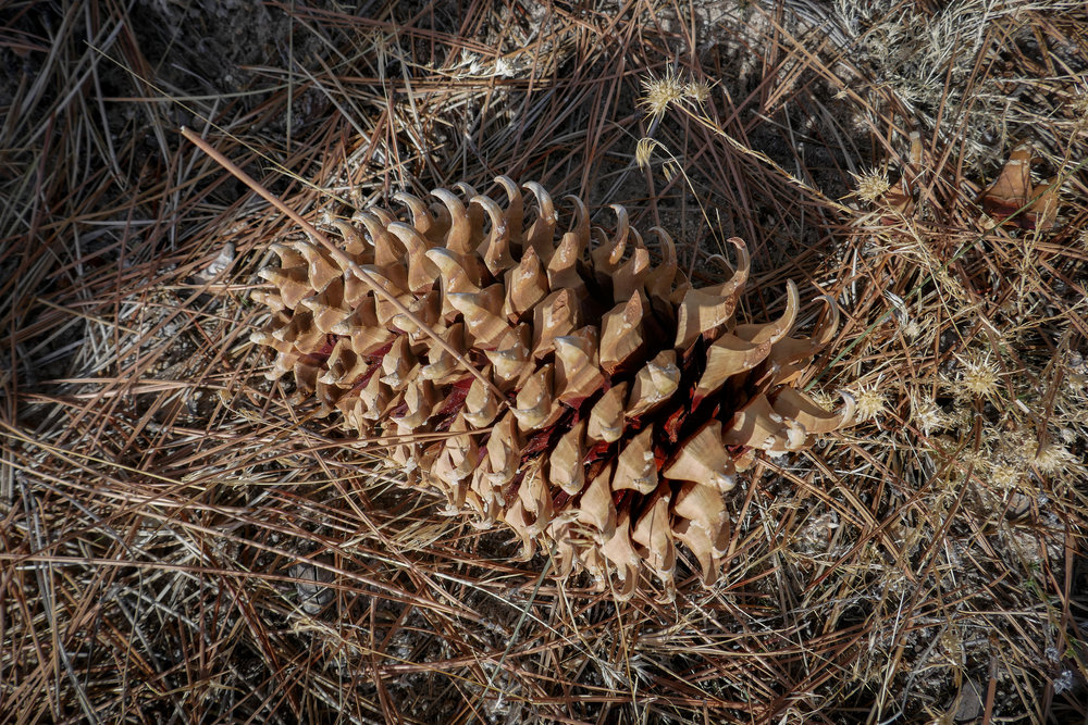 The pinecones were almost as big as my head!