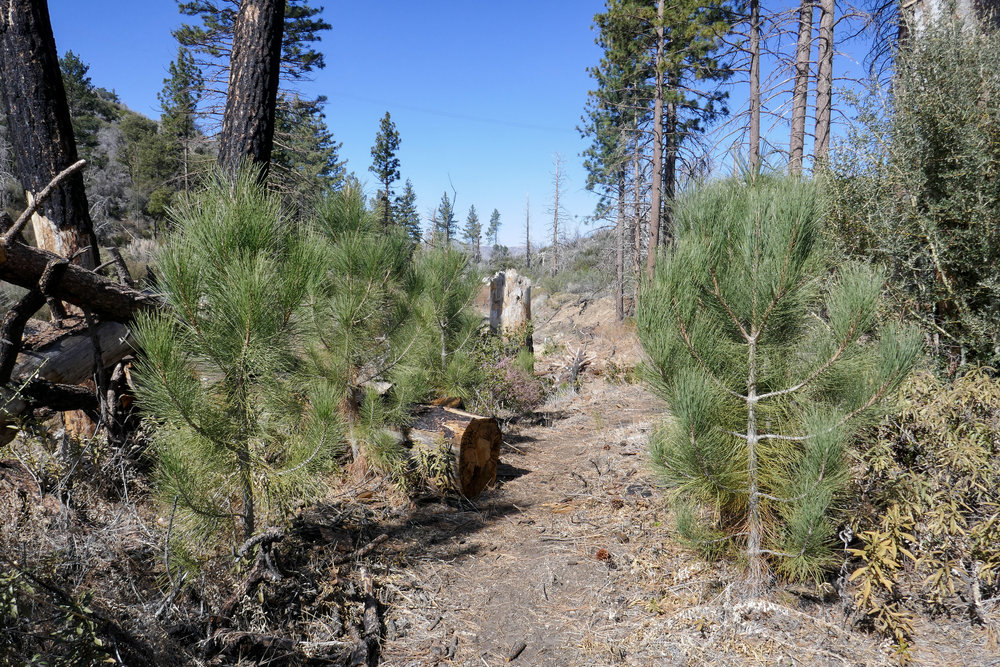 The trail is all clear now and you can see some baby pine trees growing back!  Yay!