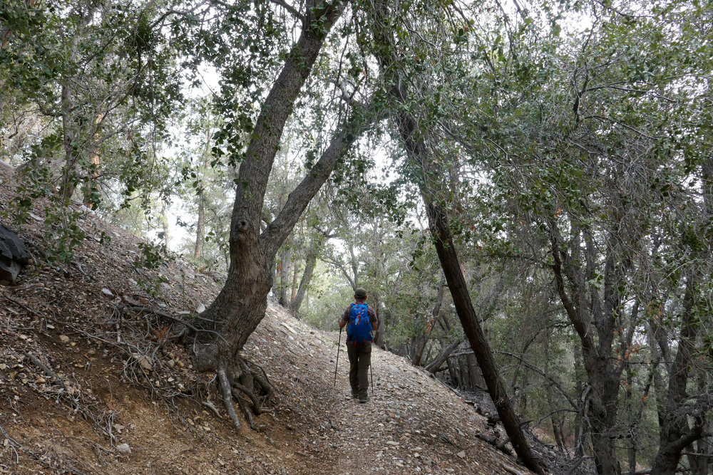 The beginning of the Burkhart Trail starts out by taking you through a pretty shaded section of oak and pine trees.