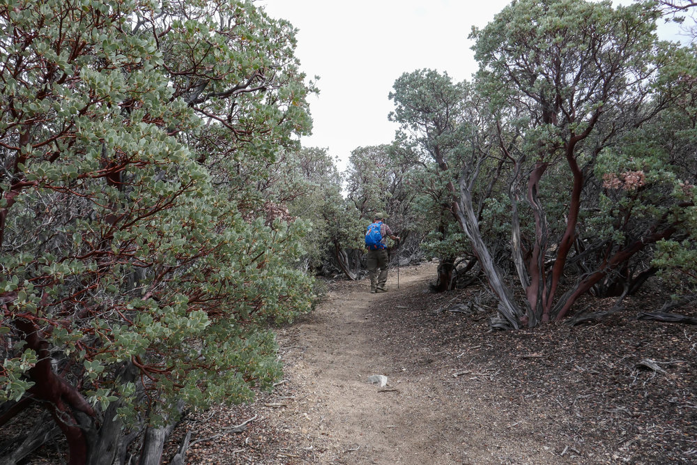 The manzanita on this trail was gorgeous and full of buzzing bees.