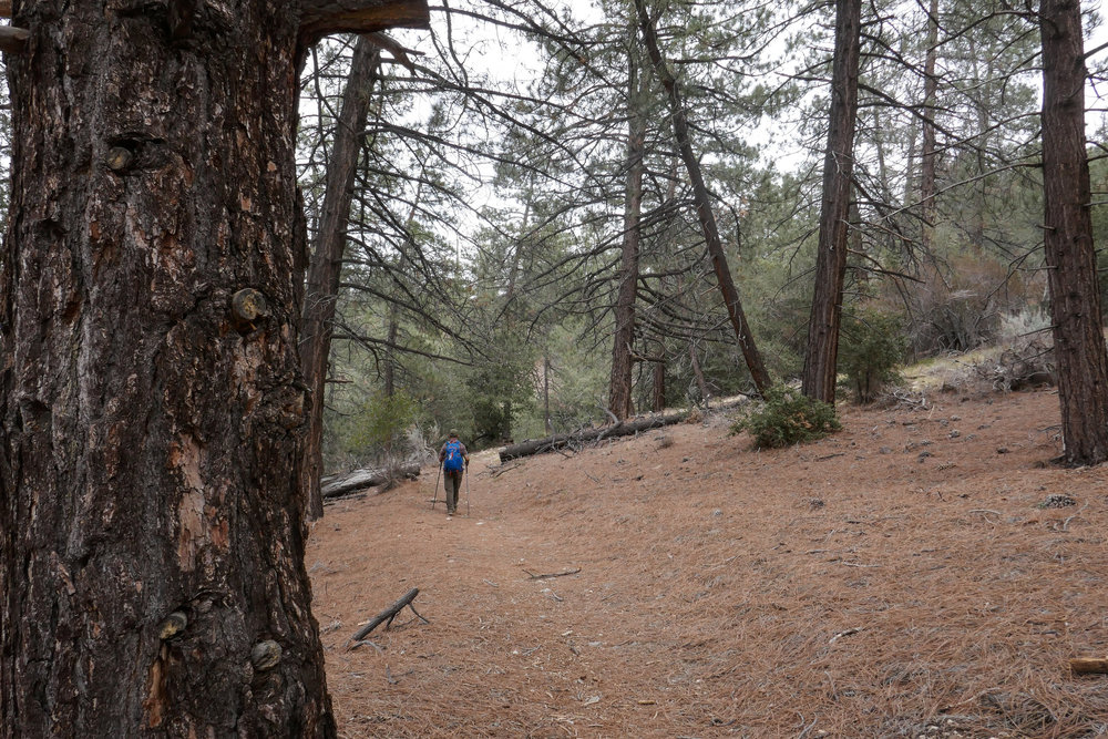 I loved this forested section with all the soft pine needles.