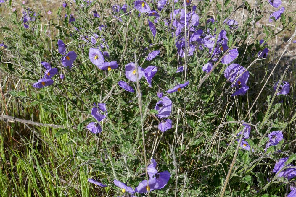 Purple Nightshade (Solanum xanti)