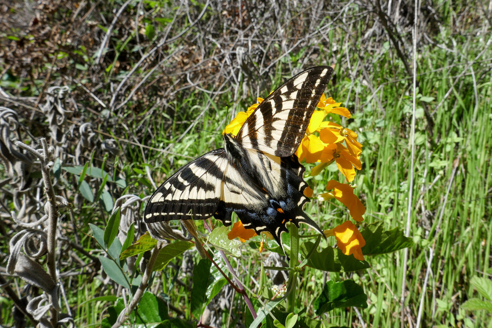 I stopped to watch this hungry swallowtail enjoying the nectar of a Western Wallflower.