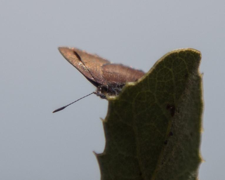 Callophrys augustinus iroides, Brown Elfin