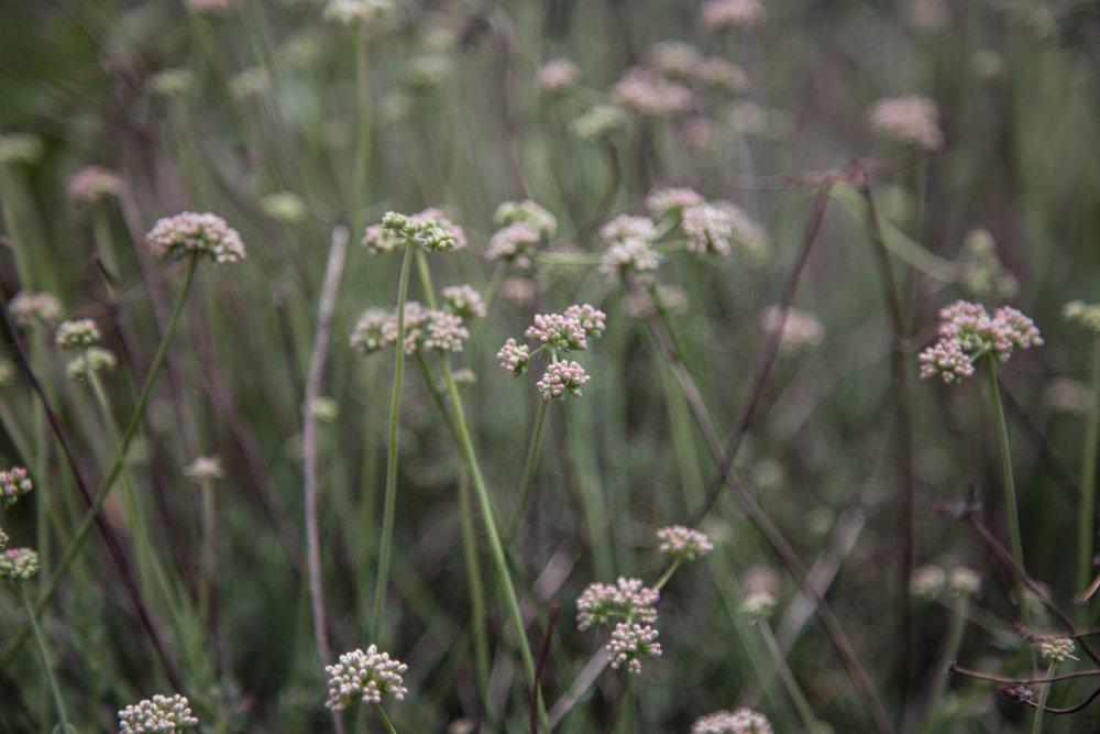 California Buckwheat
