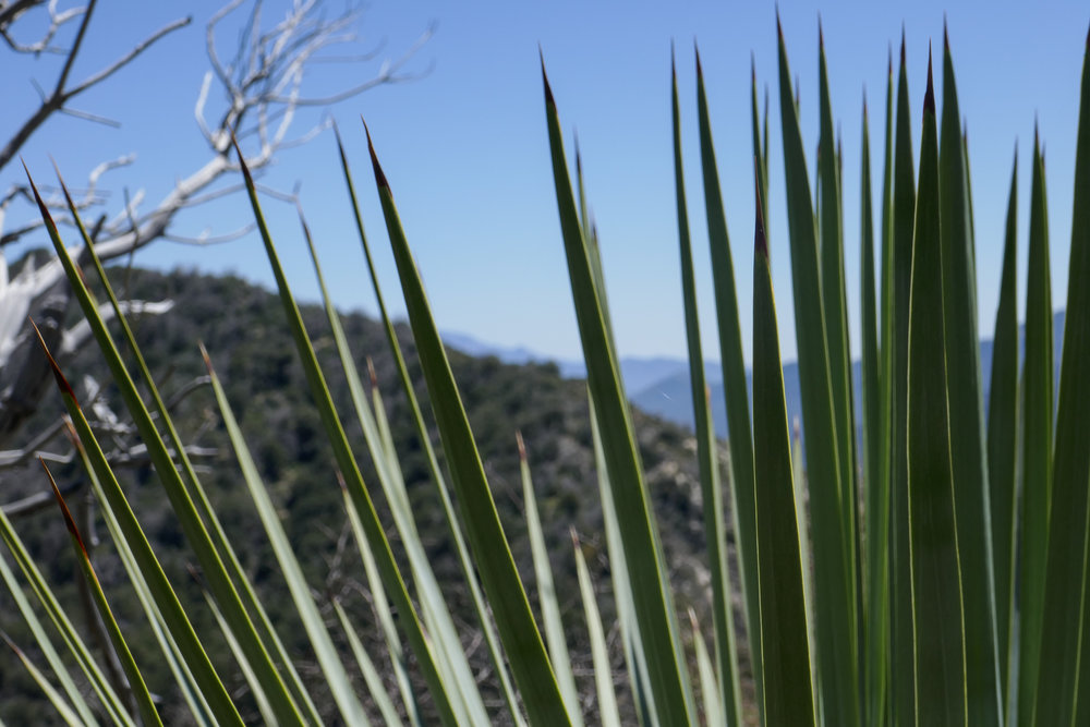 Spiky yucca!