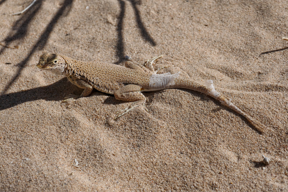 """Mojave fringe toed lizard (Uma scoparia), also known as """"sand swimmers"""". We saw lots of these along the way. They can move very fast across the sand because of their """"snowshoe-like"""" feet."""