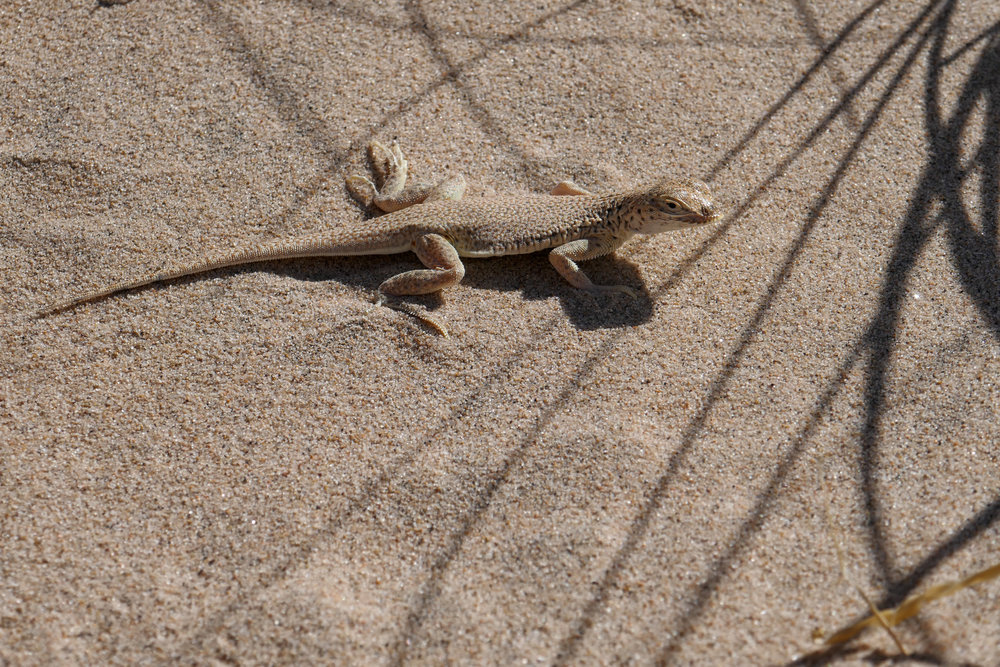 Another Mojave fringe toed lizard. Some of them were quite curious about me.