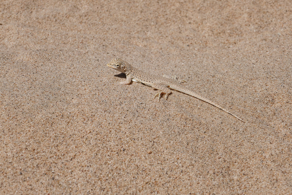 Another Mojave fringe toed lizard.