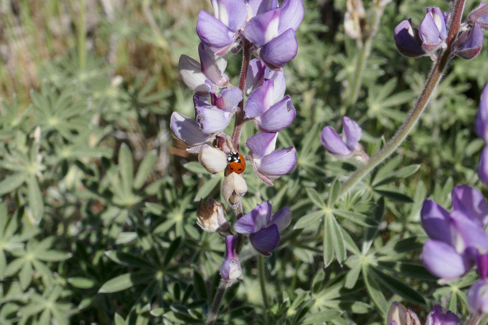 Ladybug on the lupine.
