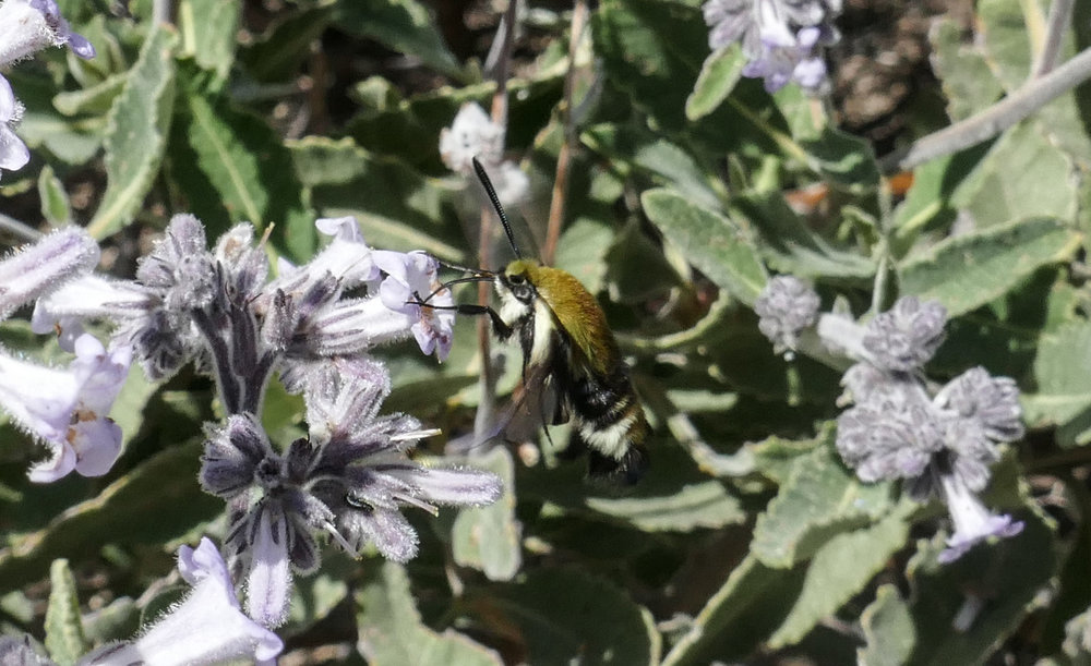 Clearwing Hummingbird moth on Yerba Santa.