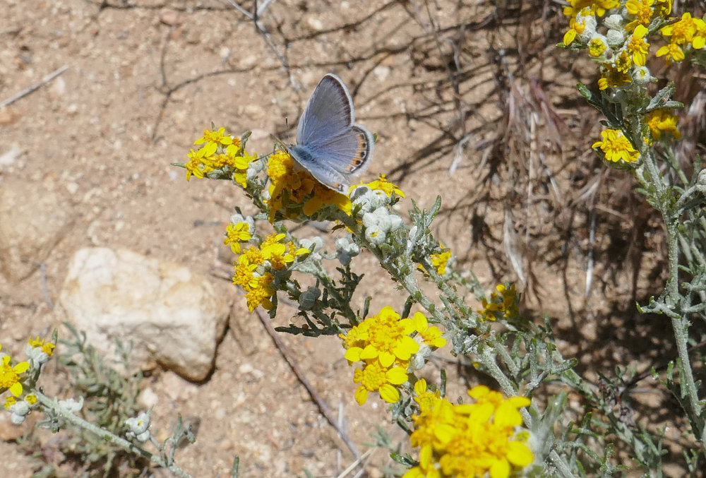 I believe this may be a Lupine Blue butterfly on these flowers that were on the side of the road near where I'd parked.