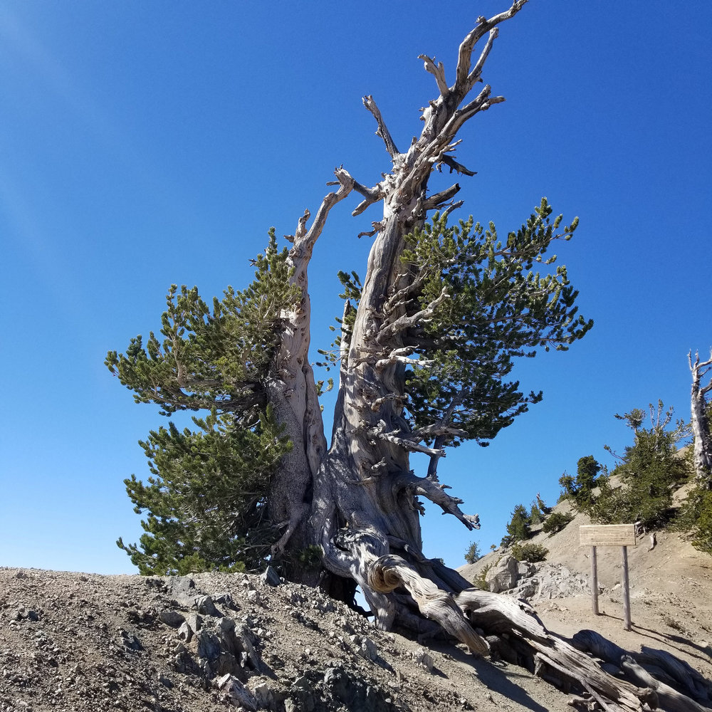 It's always nice to say hello to the Wally Waldron Tree, a 1,500 year old limber pine.