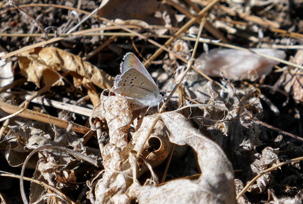 I saw many Boisduval's blues, Aricia icarioides along the trail.
