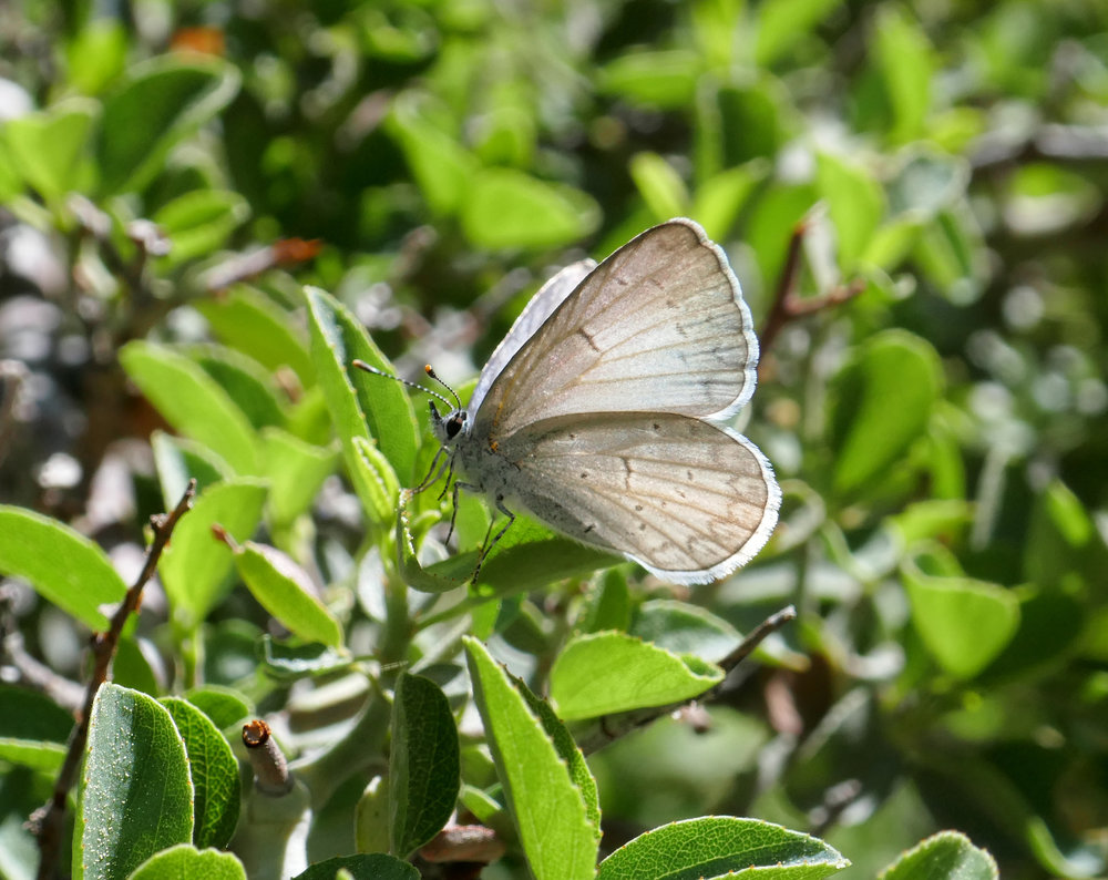 This is a Pacific Azure butterfly, Celastrina echo.
