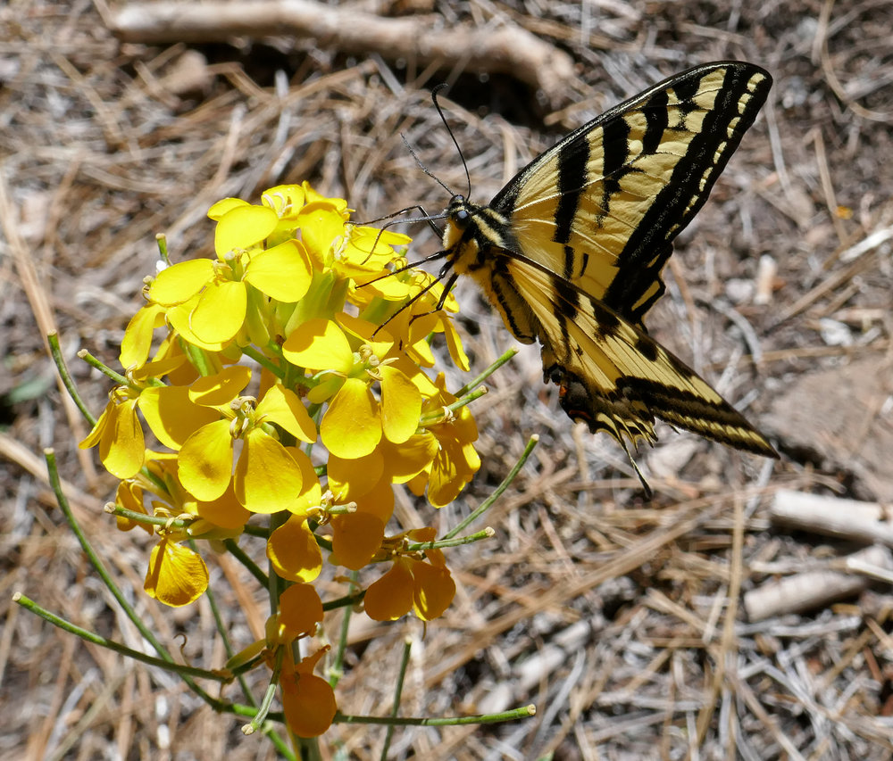 There were a lot of swallowtails at the campground.  I remember they were here last year around this time too.  This is a Western Tiger Swallowtail, Papilio rutulus.