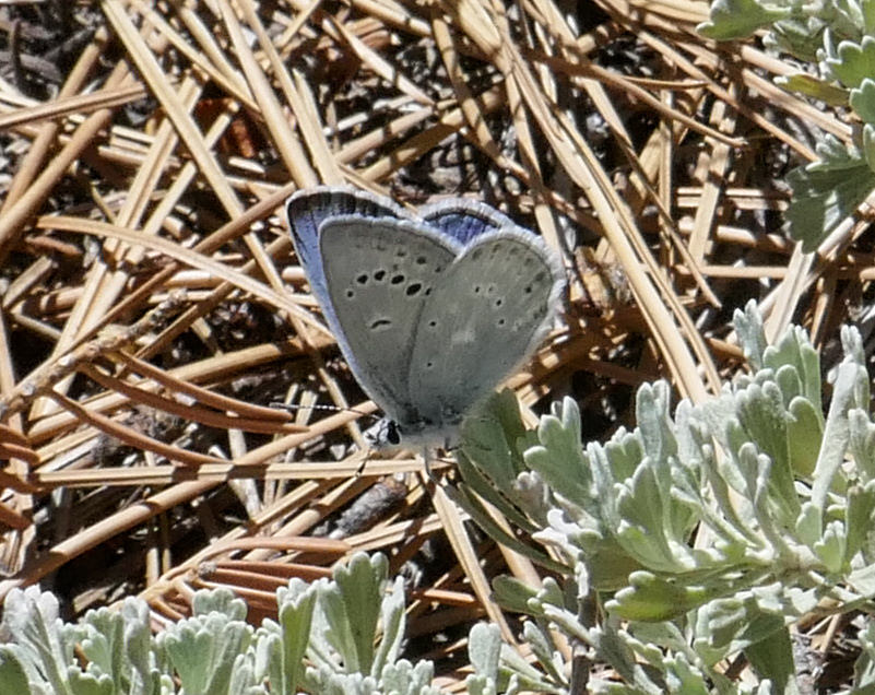 Another Boisduval's blue (Aricia icarioides).  There were so many of them!  Quick little things though.  I'm lucky to have gotten just a handful of photos.