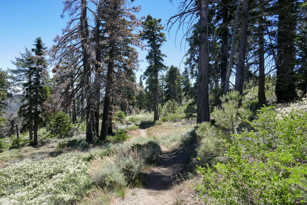 After we had lunch, I wanted to continue a little further east on the PCT to a spot I found last year that had a lot of butterfly activity to see what was flying.