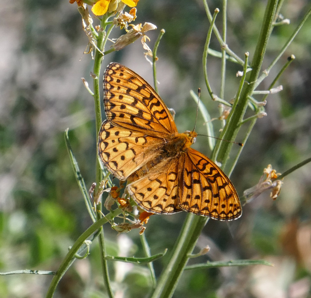 Coronis Fritillary Speyeria coronis were abundant along our route.